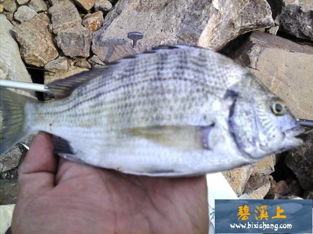 【原创钓鱼记事】海钓远投:海鲋八条